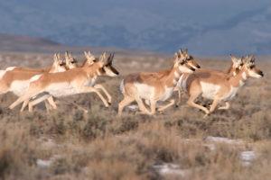 antelope running